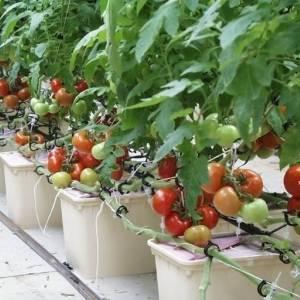 Как вырастить помидоры на гидропонике