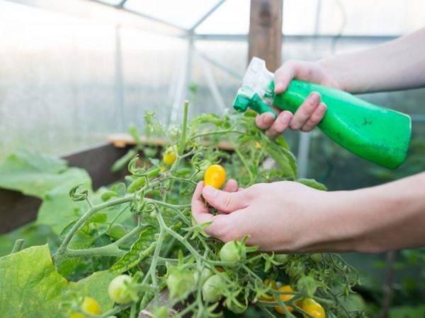 Опрыскивание молоком с йодом: копеечное средство от фитофторы на помидорах