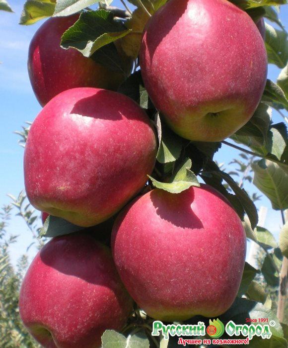 Яблоня анис свердловский: особенности сорта и ухода