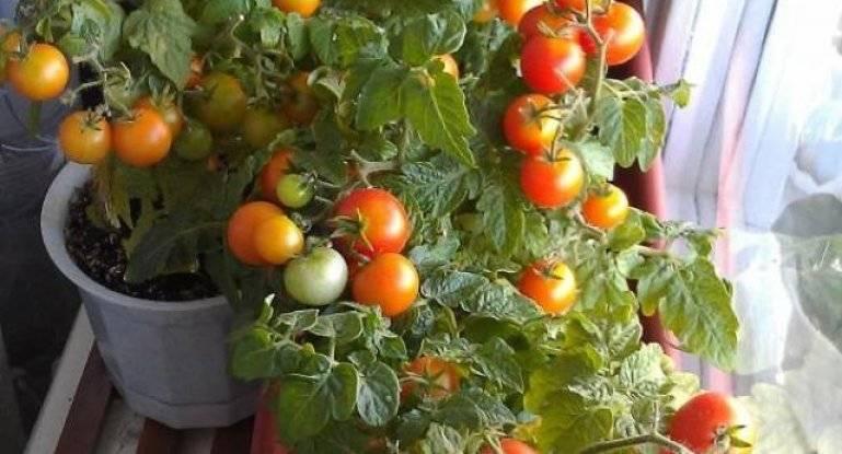 Штамбовые томаты: главные вопросы выращивания и ухода