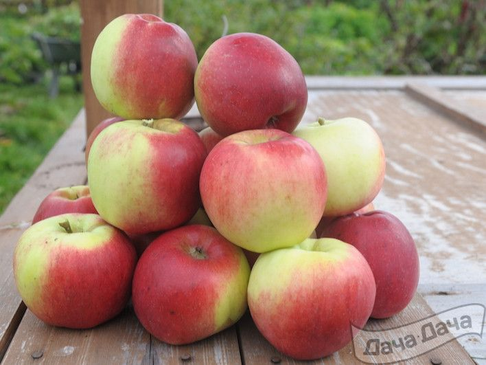 Описание основных видов древнейшего сорта яблони апорт