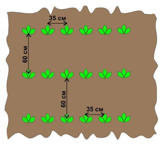 Расстояние между кустами смородины