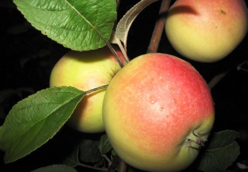 Описание сорта яблони вымпел, ее достоинства и недостатки