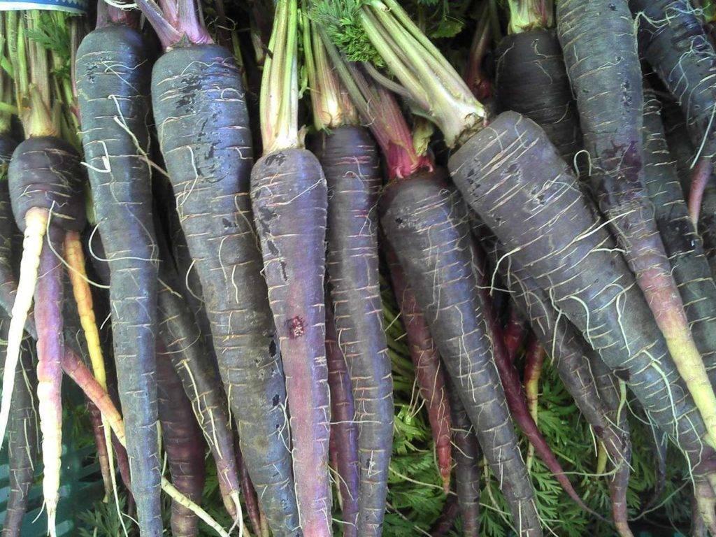 Черная морковь: выращивание из семян и применение сока