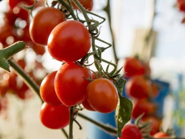 Описание сорта томата царская ветка и его характеристики