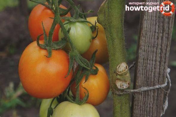 Томат волшебник: характеристики и описание сорта, урожайность