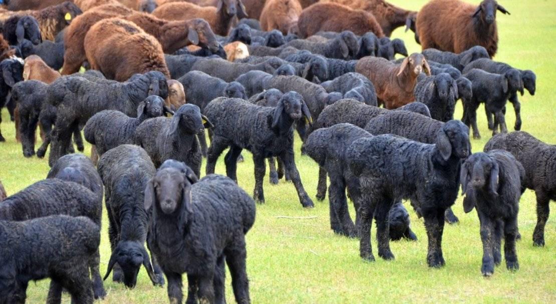 Гиссарские овцы — особенности породы