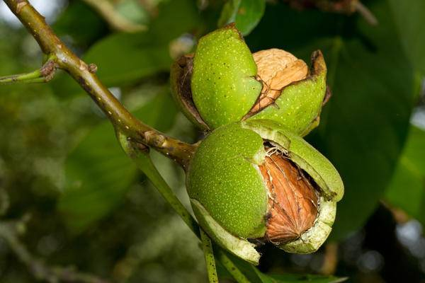 Выращивание и уход за грецким орехом в Сибири, правила подготовки к зиме