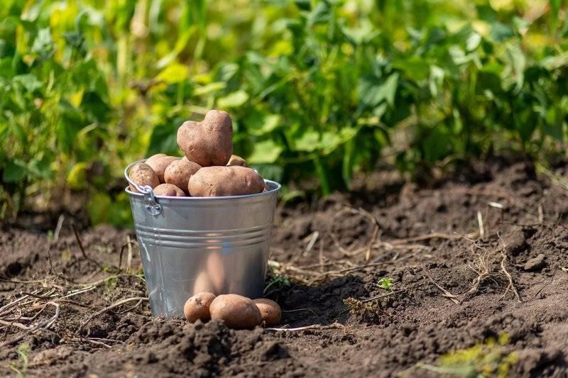 Что можно сажать после картофеля что бы земля отдохнула