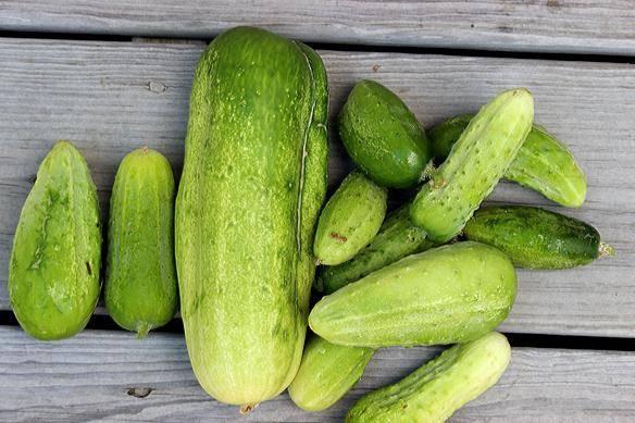 Огурец гибридный – щедрик f1. как выглядит, методика выращивания, плюсы и минусы