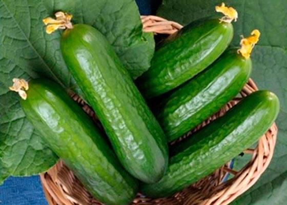 Самоопыляемые сорта огурцов для засолки и консервирования: 5 лучших сортов