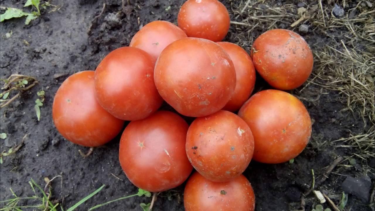 Томат хоровод: характеристика и описание сорта, как выращивать с фото
