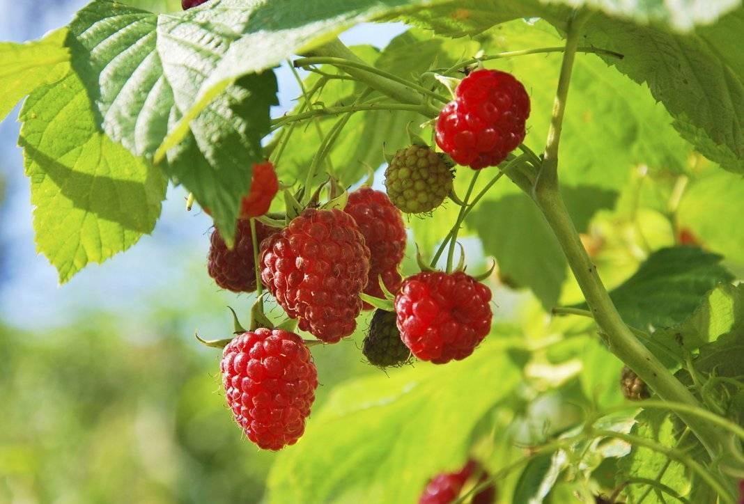 Август, посадка малины: как выбрать место и какие нужны удобрения