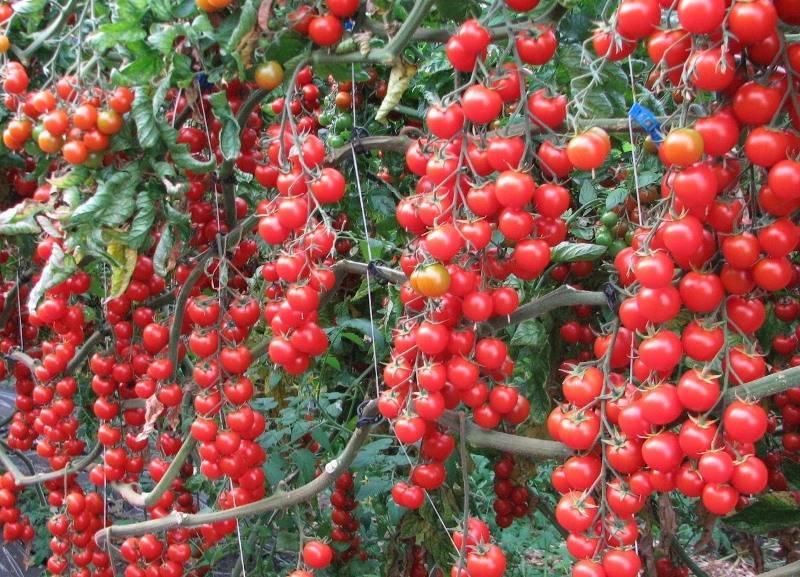 Томат красная гроздь — описание и характеристика сорта