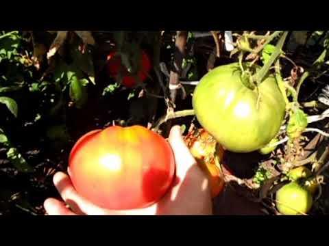 Любимец многих огородников — томат богатырь: описание сорта и особенности его выращивания