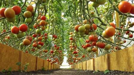 Как посадить помидоры в теплице из поликарбоната. правила ухода