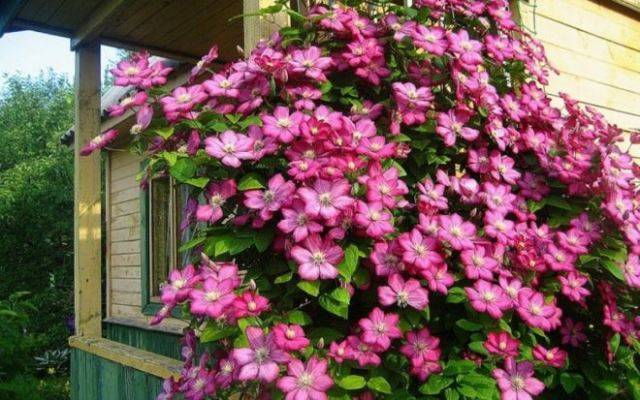 Клематисы «виль де лион»: описание, советы по выращиванию и разведению