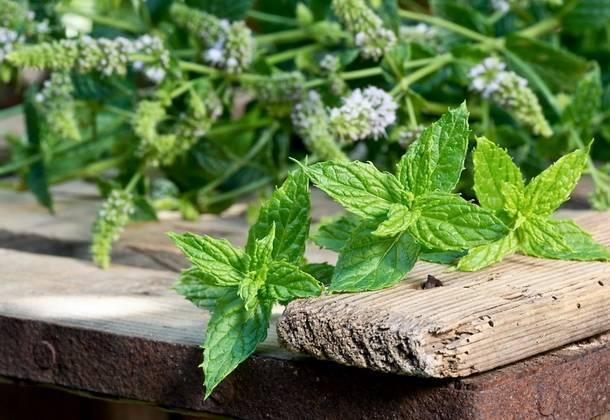 Выращивание мяты из семян в домашних условиях и открытом грунте посадка и уход размножение