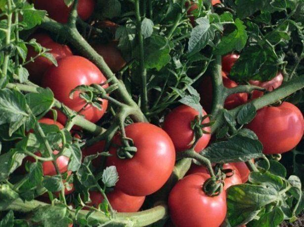Сорт томата «биг биф f1»: описание, характеристика, посев на рассаду, подкормка, урожайность, фото, видео и самые распространенные болезни томатов