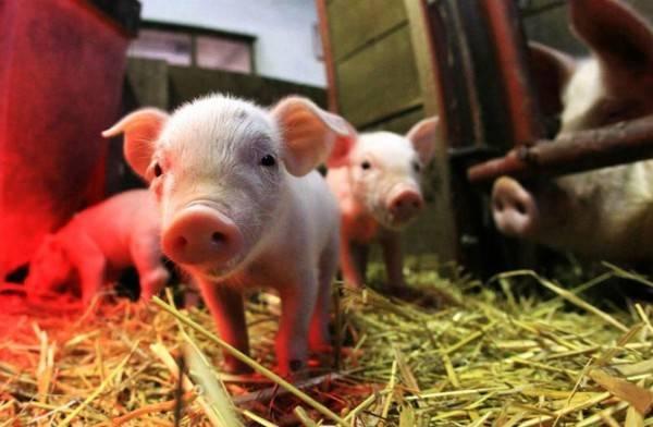 Сколько животных можно держать в личном подсобном хозяйстве