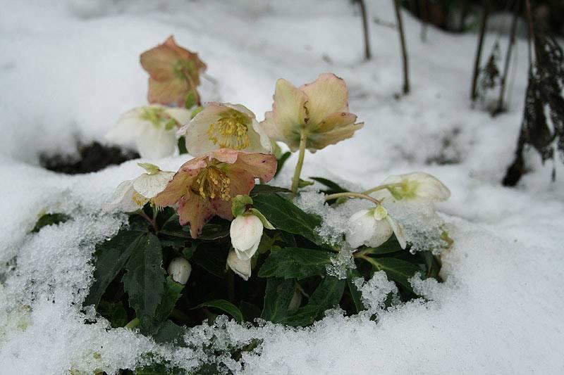Морозник: описание и условия выращивания