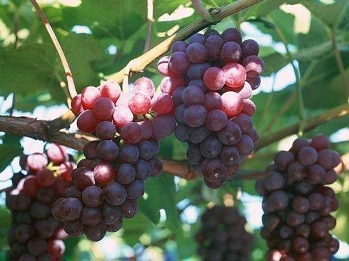 Морозоустойчивый виноград зилга: особенности выращивания