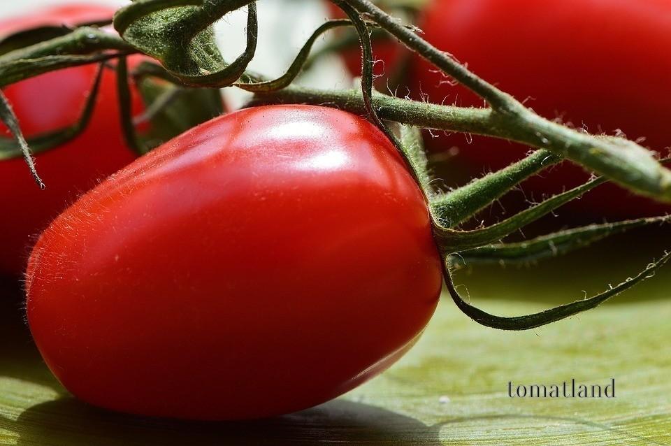 Томат михей: описание и характеристика сорта, урожайность с фото