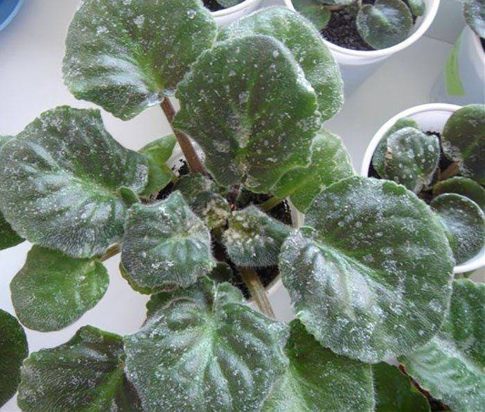Мучнистая роса на розах: варианты лечения