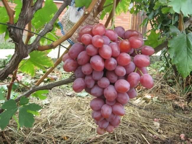 Виноград анюта: особенности сорта и советы по уходу