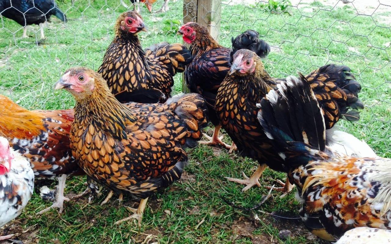 Птицы, адаптирующиеся к любым условиям — порода кур виандот