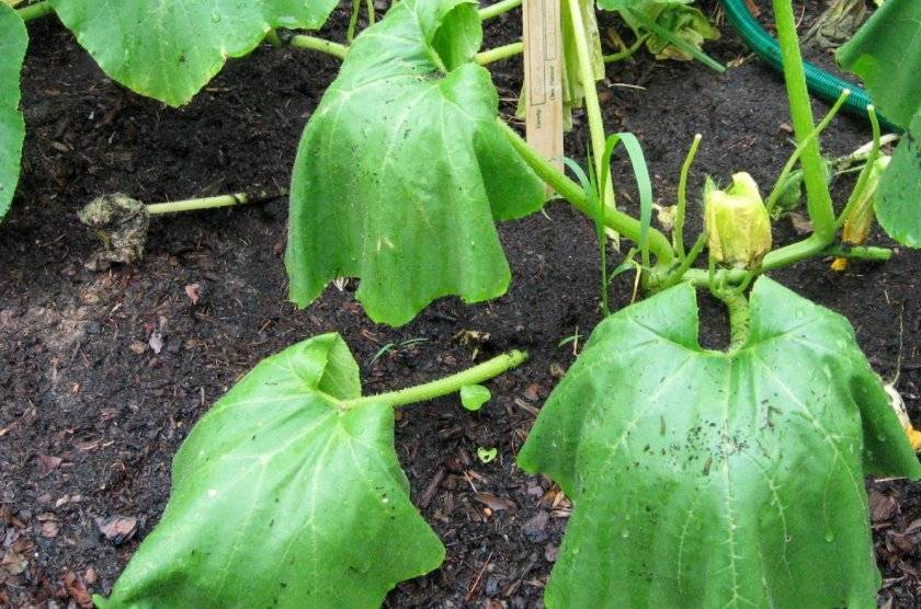 Увядание листьев огуречной рассады – выяснение причин и способы их устранения