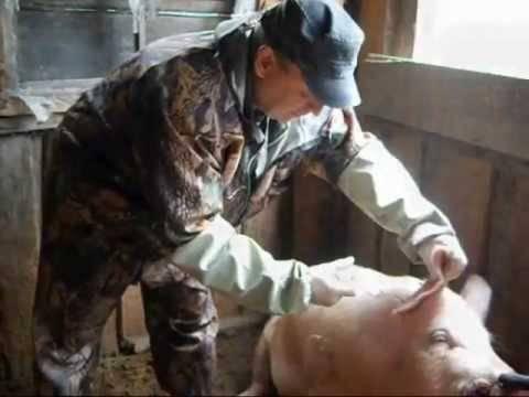 Как протекает болезнь рожа у свиней и ее симптомы и лечение