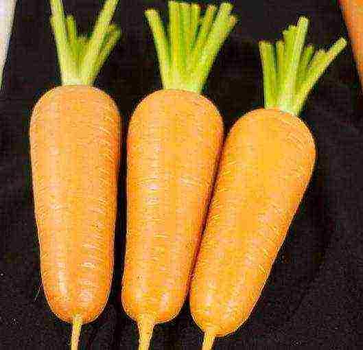 Морковь Абако: описание сорта, как вырастить с фото