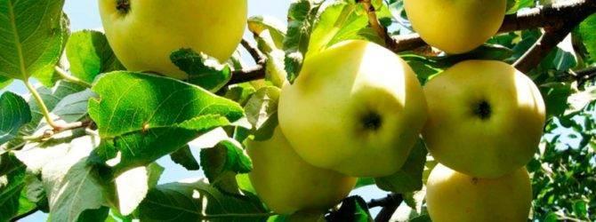 О яблоне папироянтарное: описание и характеристики сорта, уход и выращивание