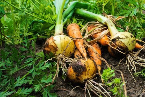 Совместное выращивание лука и укропа: можно ли сажать культуры вместе дома и на одной грядке? полезные советы