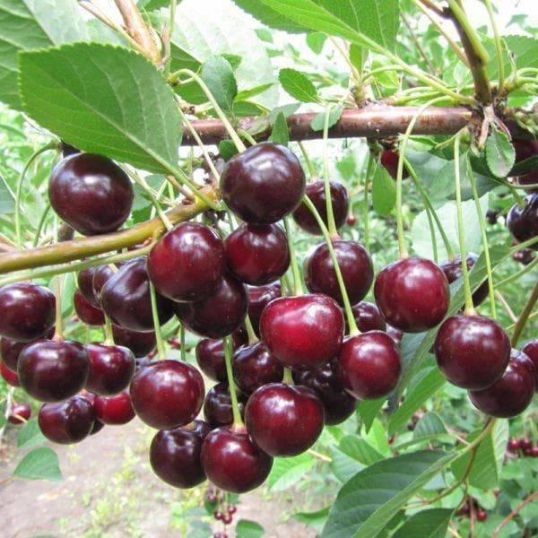 Описание и характеристики сорта вишни Шакировская, выращивание и уход
