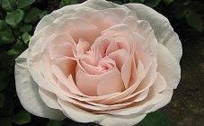 Роза версилия: описание и характеристика чайно-гибридного сорта