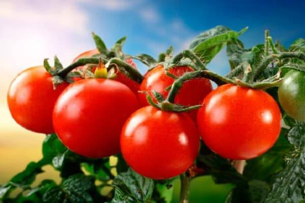 7 самых урожайных сладкие сорта помидор низкорослых непасынкующихся