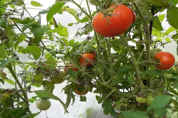 Описание сорта томата Ермак F1, особенности выращивания и ухода