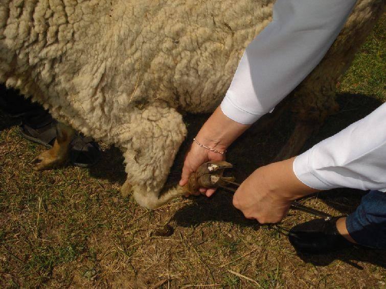 Копытная гниль у коров: симптомы, лечение