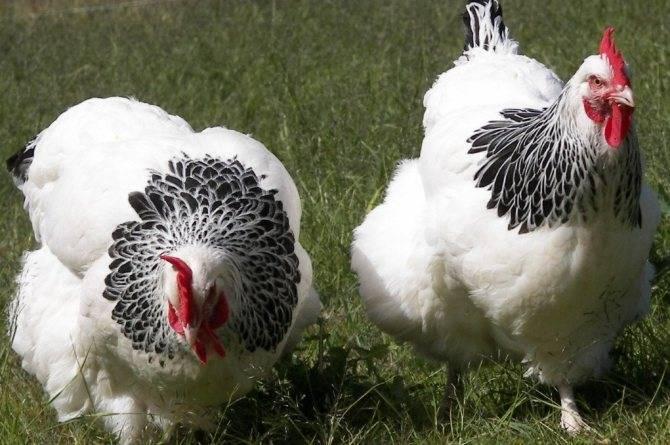 Сколько яиц несет курица несушка в месяц