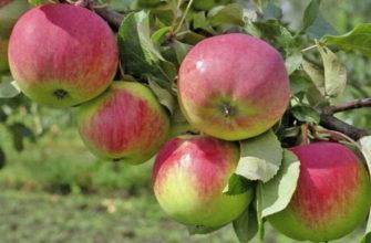Яблоня орлик: особенности сорта и ухода