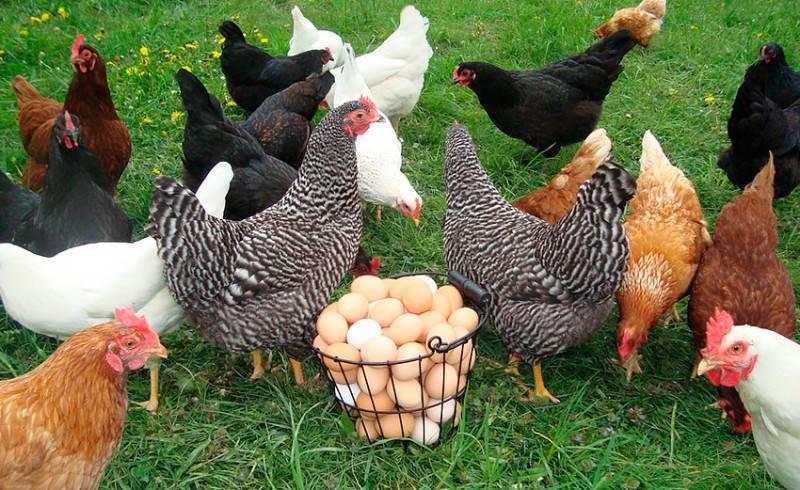 Как определить, какие курицы несутся, а какие – нет? способы и советы