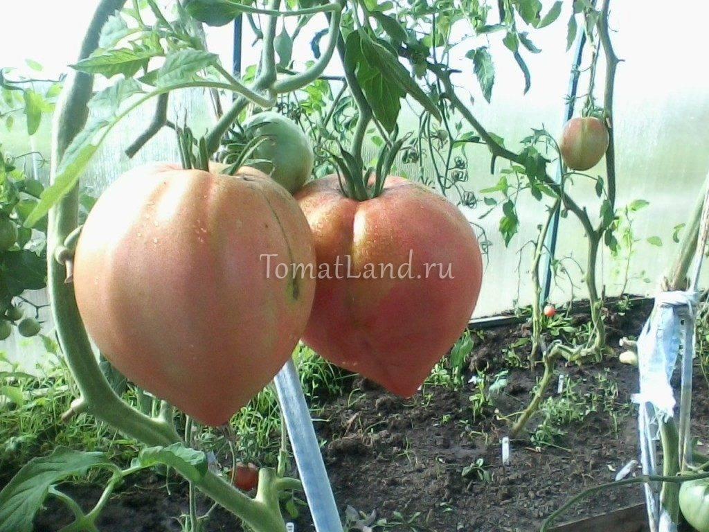 Сорт томата «русские купола f1»: описание, характеристика, посев на рассаду, подкормка, урожайность, фото, видео и самые распространенные болезни томатов