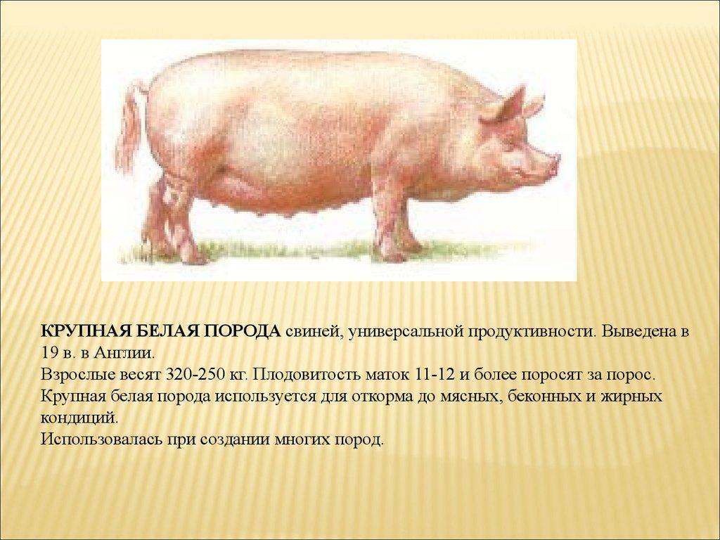 Крупная белая порода свиней: характеристика продуктивности и содержание