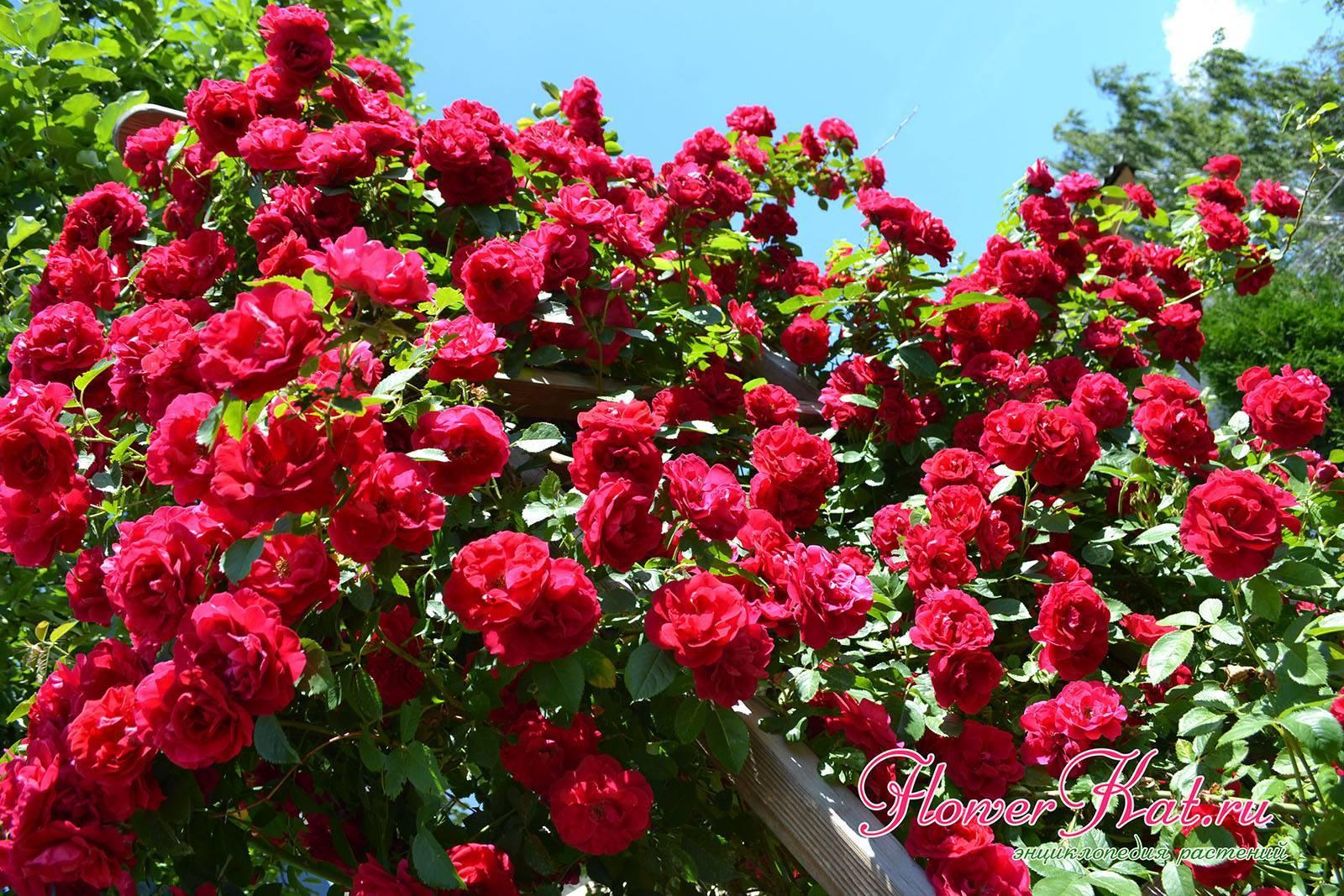 Описание и характеристики плетистой розы сорта принц, правила выращивания