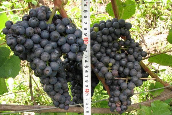 Описание и характеристики, преимущества и недостатки сорта винограда галбена ноу и тонкости выращивания