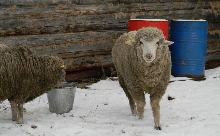 Ташлинская порода овец описание фото отзывы