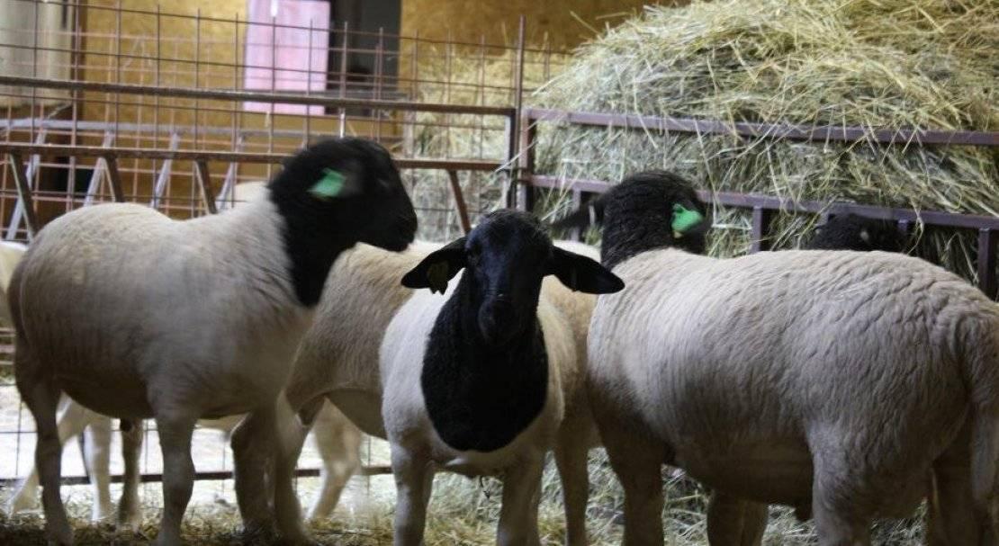 Названия и характеристика лучших и крупных мясных пород овец, разведение