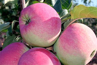 Описание и характеристики сорта колоновидной яблони сорта джин, выращивание и отзывы садоводов о культуре